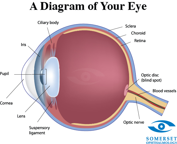 iris eye diagram - 28 images - ch 15 tunics of the eye ...